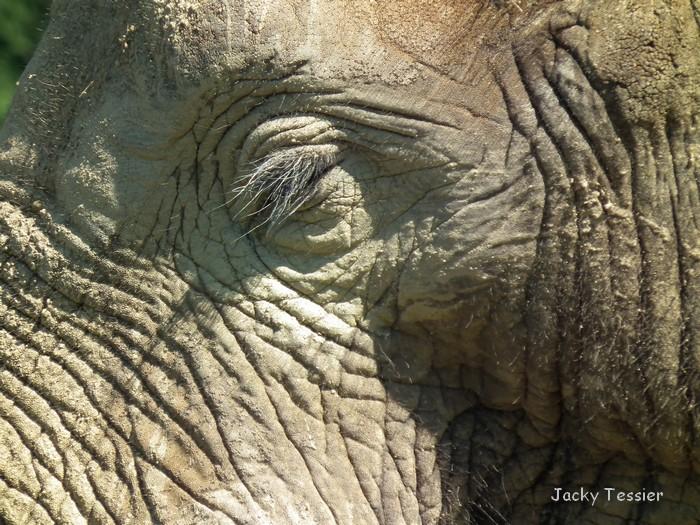 oeil d`éléphant