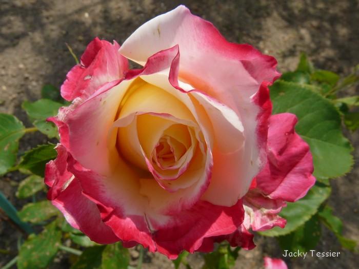 Rose_DDelight
