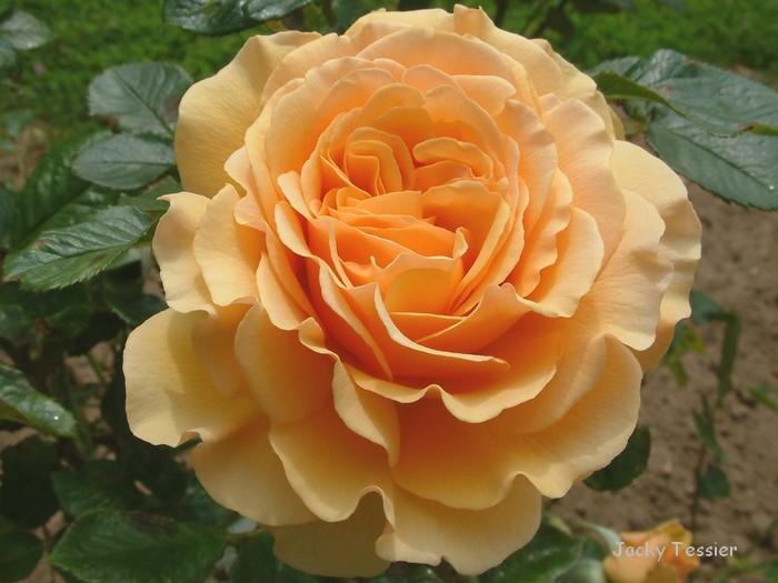 rose_amberQueen