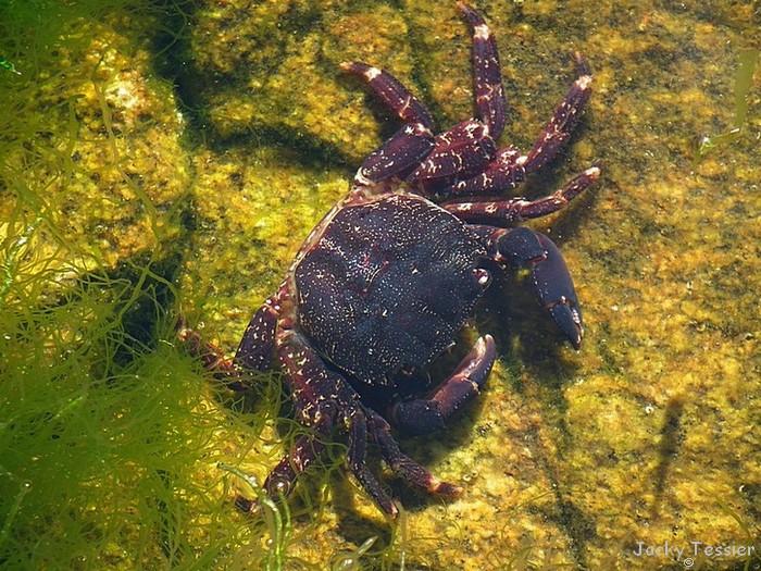 Quiberon_crabe