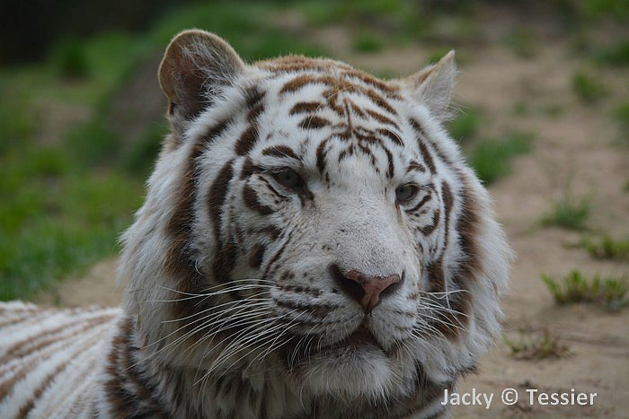 La Fleche_tigre_blanc