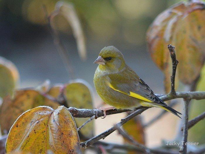 Verdier_oiseaux003