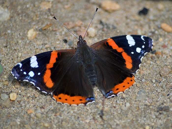 Papillon_vanesse