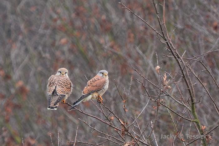 Couple de faucons