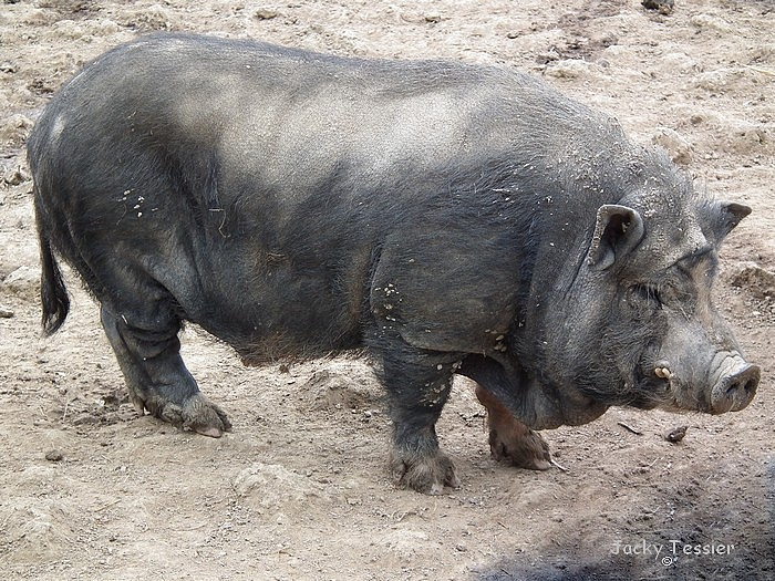 Porc_Vietnam