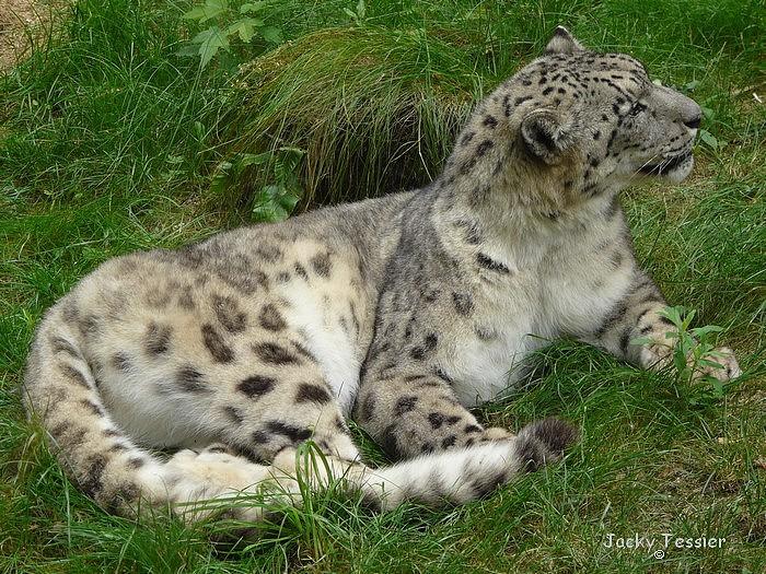 Leopard_neige