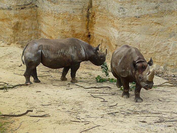 Rhinoceros_noirs